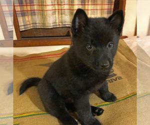 Schipperke Puppy for Sale in SEATTLE, Washington USA