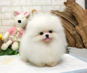 Pomeranian Puppy for sale in WASHINGTON, DC, USA