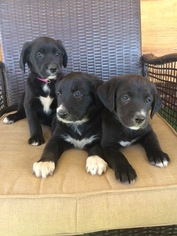 Labrador Retriever Puppy for sale in FORT COLLINS, CO, USA