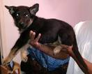 German Shepherd Dog-Siberian Husky Mix Puppy For Sale in WARREN, MA