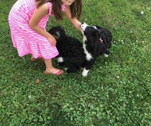 Bernedoodle Puppy for sale in PERU, IN, USA
