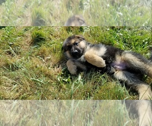 German Shepherd Dog Puppy for sale in GOLD BAR, WA, USA