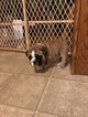 Small #1 English Bulldogge