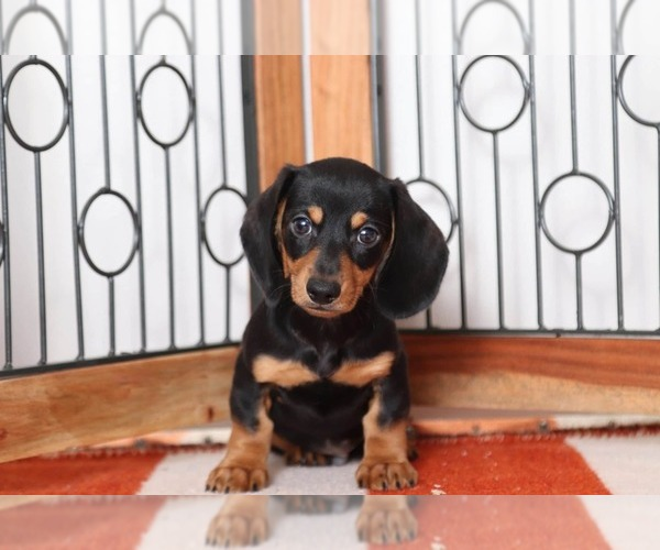 Full screen Photo #3 Dachshund Puppy For Sale in NAPLES, FL, USA