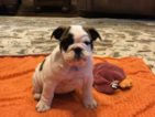 Bulldog Puppy For Sale in QUINLAN, TX, USA