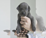 Small #5 Great Dane