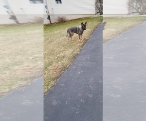 German Shepherd Dog Puppy for sale in BUTLER, PA, USA