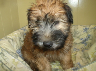 Soft Coated Wheaten Terrier Puppy For Sale in PATERSON, NJ, USA