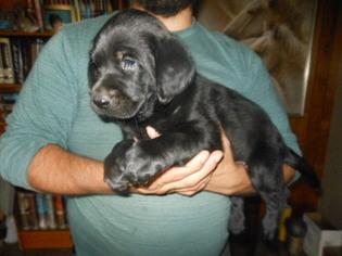 Labrador Retriever Puppy For Sale in SANTA FE, NM, USA