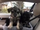 Miniature Schnauzer Pups 8wks