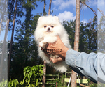 Small #23 Pomeranian