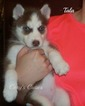 Siberian Husky Puppy For Sale in ELKLAND, MO