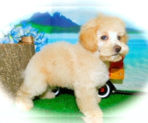 Cantel Puppy for Sale in HAMMOND, Indiana USA