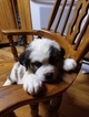 Saint Bernard Puppy For Sale in LANCASTER, KY, USA