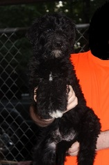 Airedoodle Puppy For Sale in THOMASVILLE, NC, USA