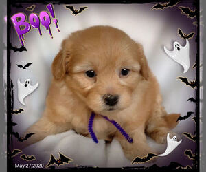 Pomeranian-Yoranian Mix Puppy for sale in SAN FRANCISCO, CA, USA