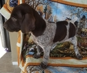 German Shorthaired Pointer Puppy For Sale in NEWPORT, NE, USA