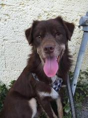 Shep - Border Collie / Australian Shepherd / Mixed Dog For Adoption