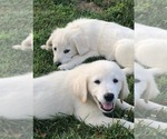 Small Photo #4 Golden Retriever Puppy For Sale in PACE, FL, USA