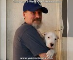 Small Photo #82 Dogo Argentino Puppy For Sale in PINEVILLE, MO, USA
