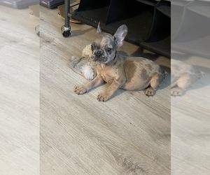 French Bulldog Dog for Adoption in JACKSONVILLE, Florida USA