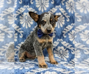 Australian Cattle Dog Puppy for sale in HOLTWOOD, PA, USA