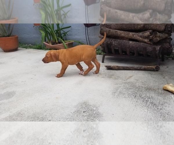 Medium Photo #2 Rhodesian Ridgeback Puppy For Sale in KENDALL, FL, USA