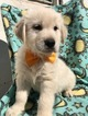 Golden Retriever Puppy For Sale in EAST EARL, PA