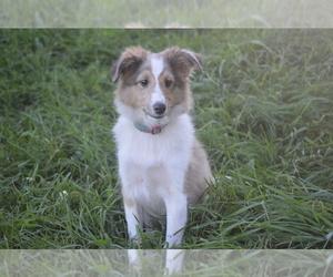 Shetland Sheepdog Puppy for sale in HOWARD LAKE, MN, USA