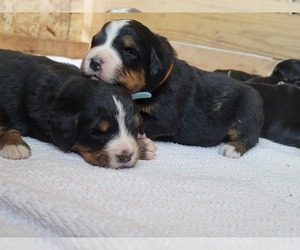 Bernese Mountain Dog Puppy for Sale in PAXTON, Illinois USA