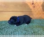 Puppy 10 Cane Corso