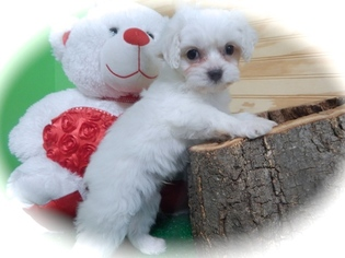 Cavapoo-Maltipoo Mix Puppy For Sale in HAMMOND, IN, USA
