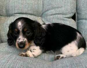 Dachshund Puppy For Sale in MALAKOFF, TX, USA