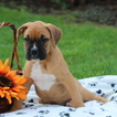 Boxer Puppy For Sale in GAP, PA, USA