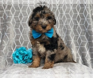 Aussiedoodle Puppy for sale in LAKELAND, FL, USA