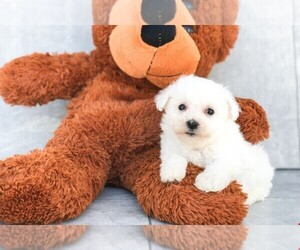 Bichon Frise Puppy for sale in CLEVELAND, NC, USA