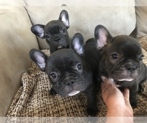 French Bulldog Puppy for sale in N QUINCY, MA, USA