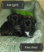 Puggle Puppy For Sale in BENSALEM, PA