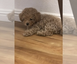 Poodle (Toy) Puppy for sale in SACRAMENTO, CA, USA