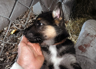 View Ad German Shepherd Dog Litter Of Puppies For Sale Near Vermont