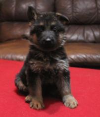 German Shepherd Dog Puppy For Sale in WESLACO, TX