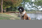 Saint Bernard Puppy For Sale in MACEDONIA, IL, USA