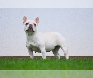Mother of the French Bulldog puppies born on 06/26/2020