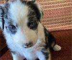 Puppy 5 Border-Aussie