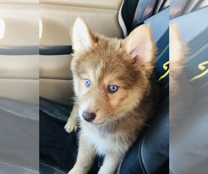 Pomsky Puppy for Sale in ADOLPHUS, Kentucky USA