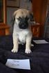 Anatolian Shepherd Puppy For Sale in COEUR D ALENE, ID, USA