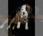 American Bulldog Puppy For Sale in DAVENPORT, IA, USA