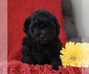 Poodle (Toy)-Yorkshire Terrier Mix Puppy for sale in GAP, PA, USA