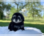 Small #11 Havanese-Poodle (Toy) Mix