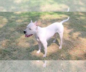 Mother of the Dogo Argentino puppies born on 11/30/2020